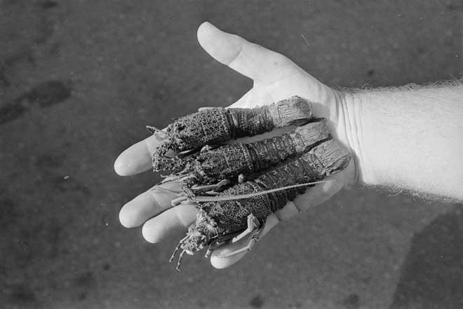 Poached crayfish