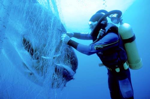Sunfish in a drift net