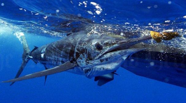 Oceanic fish