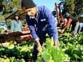 Immigrant lettuce picker