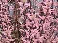 Black-stemmed willowherb