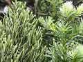 Manoao or Kirk's pine