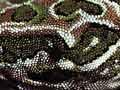 Harlequin gecko
